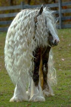 Gypsy Vanner Horse - What a beautiful animal.  Rapunzel?