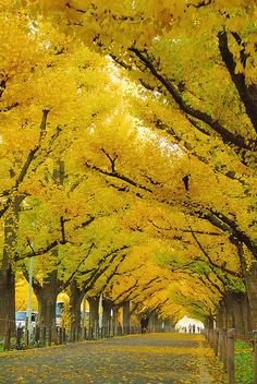 The Ginko Avenue in Jingu,Tokyo, Japan.  Ginkos turn this amazing gold color in the fall. Being that the Ginko is a very slow growing tree, this many mature trees is a remarkable sight!