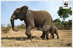 An elephant mother with her young calf - WWF eCards