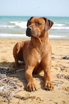 NTCHWAIDUMELA EAST LUIS - Rhodesian Ridgeback An awesome breed!!
