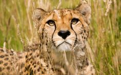 Cheetah HD Background Wallpapers