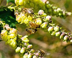 Honey Bees on the grape holly at Stonecroft