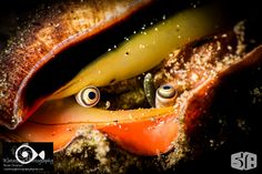 The eyes of a conch. Image created with a Nikon D810 in Sea&Sea housing with two YS-D1 strobes.  waterdogphotography.com  Alpha at seaandsea.com
