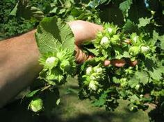 Growing Hazelnuts for Biofuel Production - eXtension Horticulture, Plants, Berries, Herbs, Succulents, Outdoor Plants, Growing, Garden Design, Garden