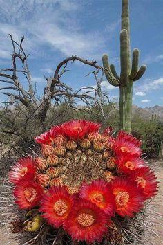 Flor de Cactus, desierto  de Altar, Sonora México