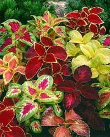 Container Flower Gardening Ideas: Coleus Combination, Black Dragon, Wizard, Rainbow Mix