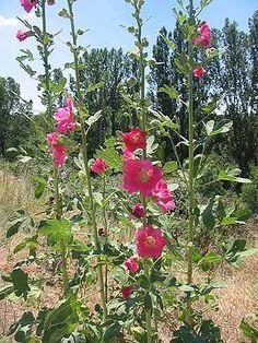 Gewöhnliche Stockrose (Alcea rosea)
