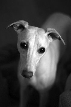 Whippets are so awkwardly adorable.