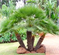 The European (Dwarf) Fan Palm is a slow growing palm that rarely grows higher than 5 – 10 ft tall and 1-5 ft wide.