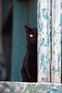 love the golden eye of this cat