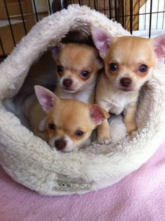 Chihuahua is a very amazing dog. So now that you are interested in adopting or buying Chihuahua, check first the list of Chihuahua colors and markings Chihuahua Puppies For Sale, Baby Chihuahua, Dogs And Puppies, Doggies, Newborn Puppies, Poodle Puppies, I Love Dogs, Cute Dogs, Baby Animals