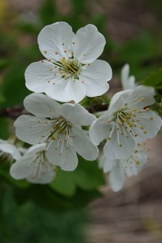 Montmorency Cherry Blossoms