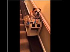 Elderly English Bulldog Rides Down the Stairs In A Custom Stair Lift. www.bullymake.com