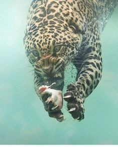 "The name Jaguar originated from the Native American word 'Yajuar' meaning ""He who kills with one leap"". Unlike many other big cats, Jaguars are extremely good swimmers 🐆 Photo by Source Nature Animals, Animals And Pets, Baby Animals, Funny Animals, Cute Animals, Wildlife Nature, Fierce Animals, Beautiful Cats, Animals Beautiful"