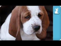 #Cute Wrinkled Basset Hound #Puppies - #dogs
