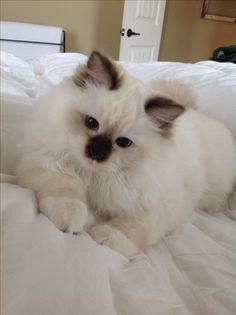 Chocolate Mitted #ragdollcatchocolate