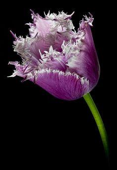 Ragged Tulip | Flickr - Photo Sharing!