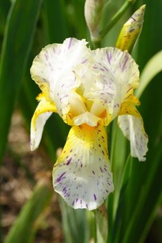 """""""Minnesota Mixed-Up Kid"""" ~ what a great name for this Iris!"""