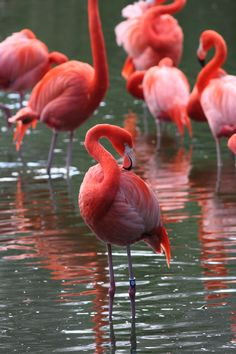 Flamingos at the Jacksonville Zoo! Im going tomorrow! Florida City, State Of Florida, Jacksonville Zoo, Passion Photography, Birds 2, Sunshine State, Pure Beauty, The Places Youll Go, Art World