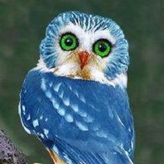 This is not a real blue owl. In fact, it's a Northern Saw-Whet owl, that lives only in North America, Photoshopped to be blue. Animals And Pets, Baby Animals, Funny Animals, Cute Animals, Owl Photos, Owl Pictures, Beautiful Owl, Animals Beautiful, Especie Animal