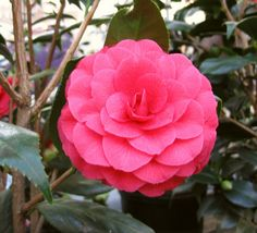 Camellia japonica 'C. M. Hovey' | Flickr - Photo Sharing!