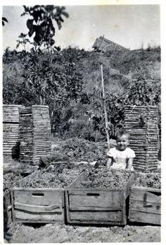 1951 Vendemmia nella campagna materana  Basilicata  #TuscanyAgriturismoGiratola