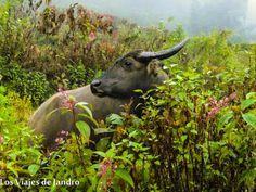 Vaca en Sapa