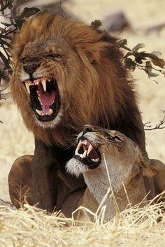 Lions Mating, Kgalagadi Transfrontier Park, South Africa © HOBERMAN