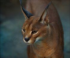 Каракал, или Удивительной красоты кошка