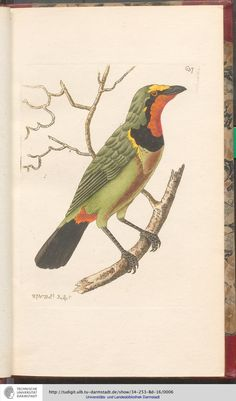 Red-throated Butcher-Bird, from George Shaw, Vivarium naturae or the naturalist's miscellany: or colored figures of natural objects, drawn and described immediately from nature, 1805. Nodder, London. Via TU Darmstadt