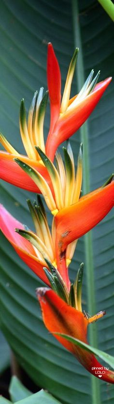 Beautiful garden flowers ~ Bird of Paradise