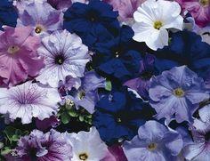 Petunia hybrida Grandiflora, Aladdin™ Nautical Mix, Annual | Benary