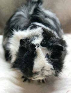 Foods to avoid feeding to your guinea pig Guinea pig ideas Guinea pigs care Pet rats Rat toys Diy guinea pig toys Baby Guinea Pigs, Guinea Pig Toys, Guinea Pig Care, Pet Pigs, Cute Funny Animals, Cute Baby Animals, Animals And Pets, Wombat, Guniea Pig