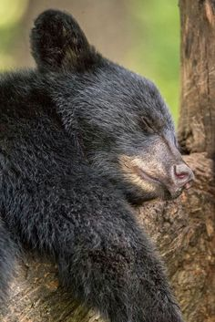 a wildlife park located in Billings, Montana.Montana's only zoo and botanical park.home to nearly 100 animals representing 58 species Tired Animals, Animals For Kids, Baby Animals, Bear Pictures, Animal Pictures, Bear Cubs, Grizzly Bears, Polar Bears, Mon Zoo