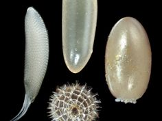 Insect eggs can take any shape at almost any size, refuting explanations for their dimensions based on geometric scaling laws or on relationships between egg traits and adult traits. Insect Eggs, Scale Insects, Ecology, Diversity, Bugs, Physics, Magazine, Life, Animals