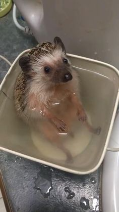 Hedgehog bath time - Hedgehog bath time Discover 8 Amazing Facts About Hedgehogs Baby Animals Super Cute, Cute Little Animals, Cute Funny Animals, Funny Birds, Hedgehog Bath, Cute Hedgehog, Baby Animals Pictures, Cute Animal Pictures, Animal Pics