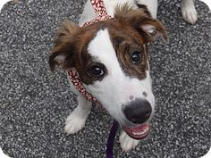 Peachtree City, GA - Collie Mix. Meet Apple a Puppy for Adoption.