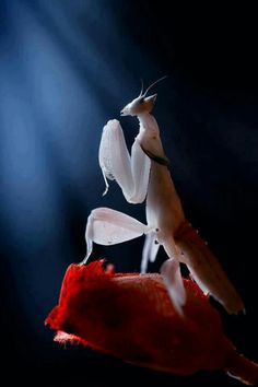 Michael, check out this Albino praying mantis!!