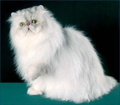 Blue Shaded Silver Persian