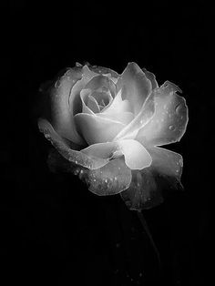 *black and white photography, flowers, rose, shadows* Black N White, Black And White Pictures, White Art, Black And White Flowers, Photo Rose, Rose Pic, Orquideas Cymbidium, Deco Nature, Light And Shadow