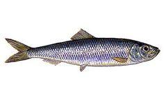 Peixe Sardinha 3 Peixe Sardinha