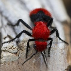 Red Velvet Ant (Dasymutilla occidentalis) _5238 by Eric Gofreed, via Flickr also known as a cow killer and is actually ore of a wasp rather then and ant