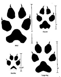 Comparing the tracks or pawprints of a wolf, a coyote, a red fox, and a large dog.
