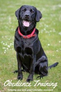 labrador-obedience-training
