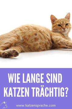 Wie lange eine Katze Junge trägt, erfährst du hier ... #katze #katzen #katzeträchtig #katzennachwuchs #katzenbabys #katzentipps #katzenhacks #katzenverhalten #katzeschwanger #katzeschwangeranzeichen #schwangerekatze