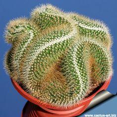 Mammillaria Pringlei--Brain Cactus