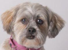 Petango.com – Meet Gigi, a 8 years 10 months Lhasa Apso available for adoption in COLORADO SPRINGS, CO. Call (719) 445-6787 to speak to an adoption representative at National Mill Dog Rescue.