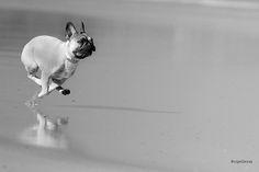 Run Frenchie Run!