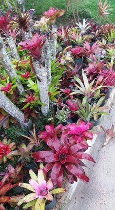 Unusual Plants, Exotic Plants, Exotic Flowers, Tropical Plants, Beautiful Flowers, Rock Plants, Leafy Plants, House Plants, Air Plants