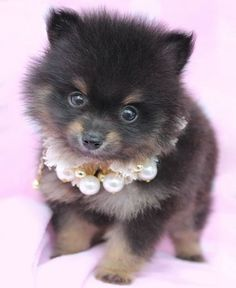 Pomeranian Puppy by TeaCups, Puppies & Boutique! Locally bred right here in South FL! Teacup Puppies, Cute Puppies, Cute Dogs, Dogs And Puppies, Doggies, Teacup Pomeranian, Corgi Puppies, Baby Animals, Cute Animals
